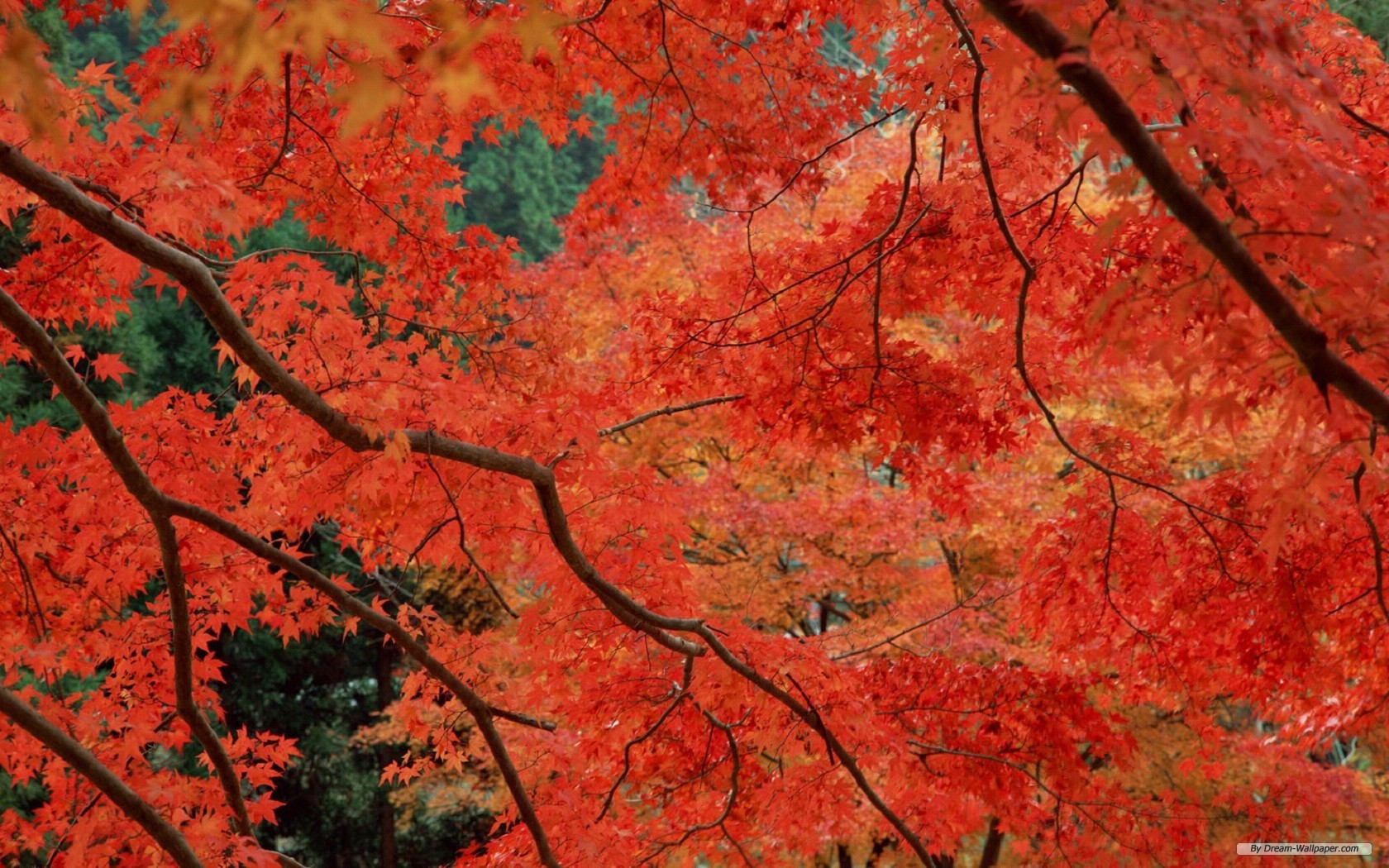Wallpaper   Nature wallpaper   Autumn Red Leaves wallpaper 1680x1050