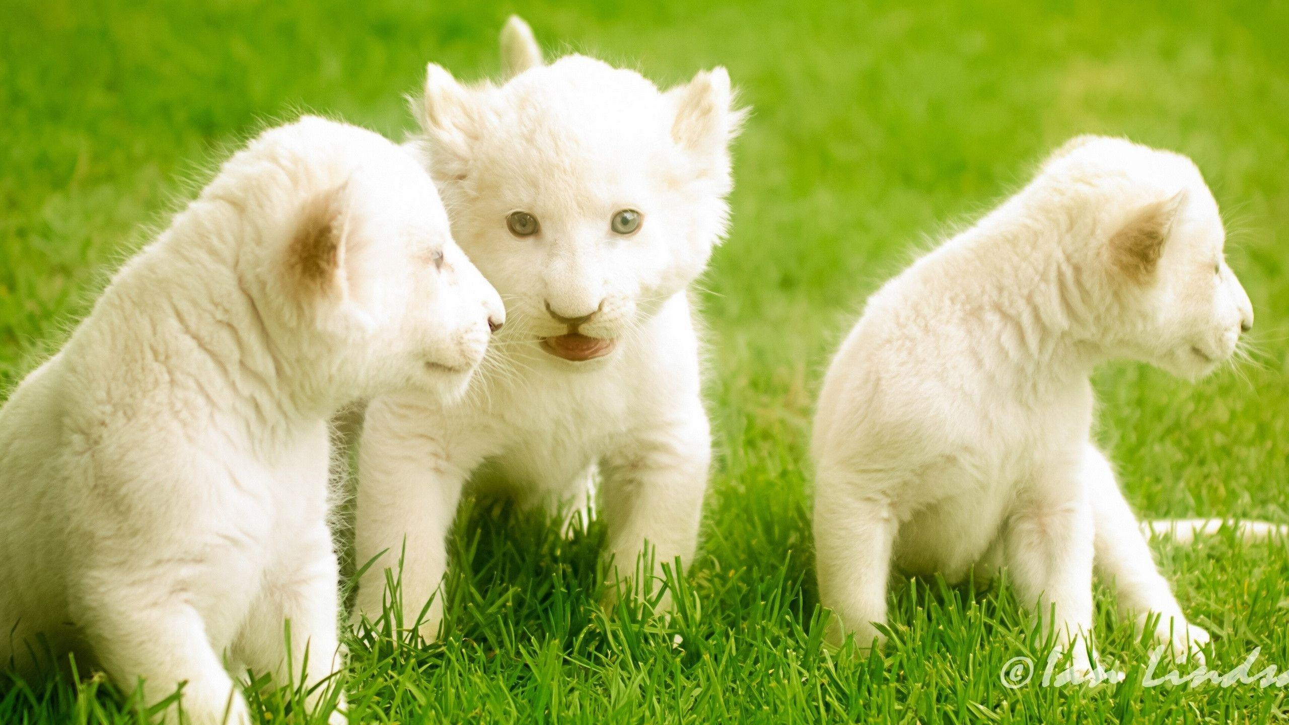 White Lion Wallpapers 2560x1440