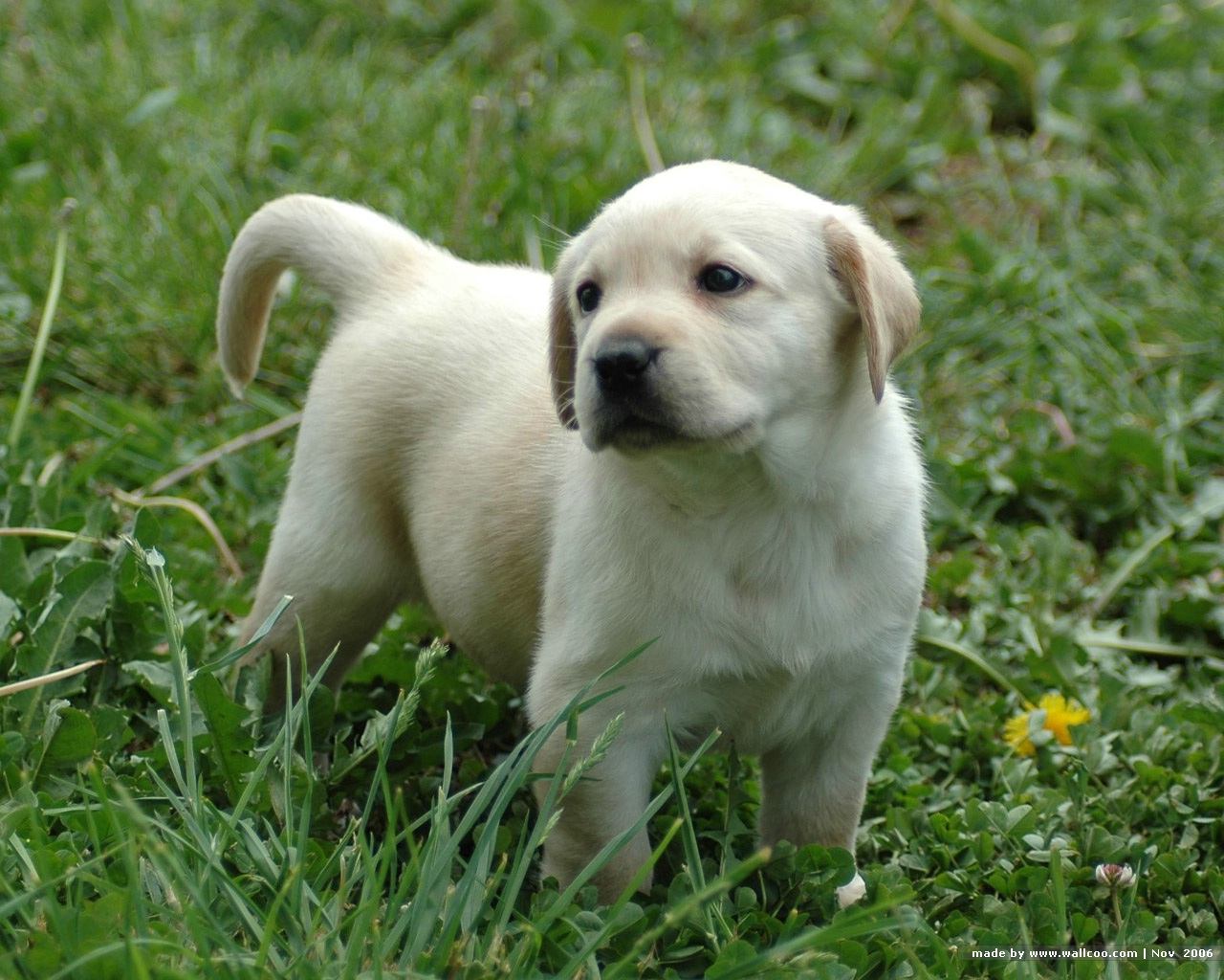 Labrador Retriever puppies 345962551MqYEeM fsjpg 1280x1024