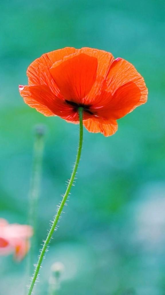 Orange Flower Wallpaper   iPhone Wallpapers 576x1024