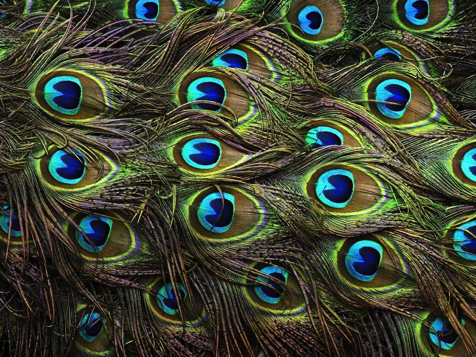 Wallpapers Of Peacock Feathers HD 2015 1600x1200