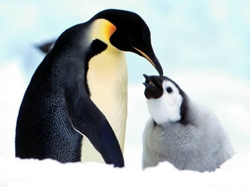 Baby Penguin Screensaver Screensavers   Download Baby Penguin 500x375