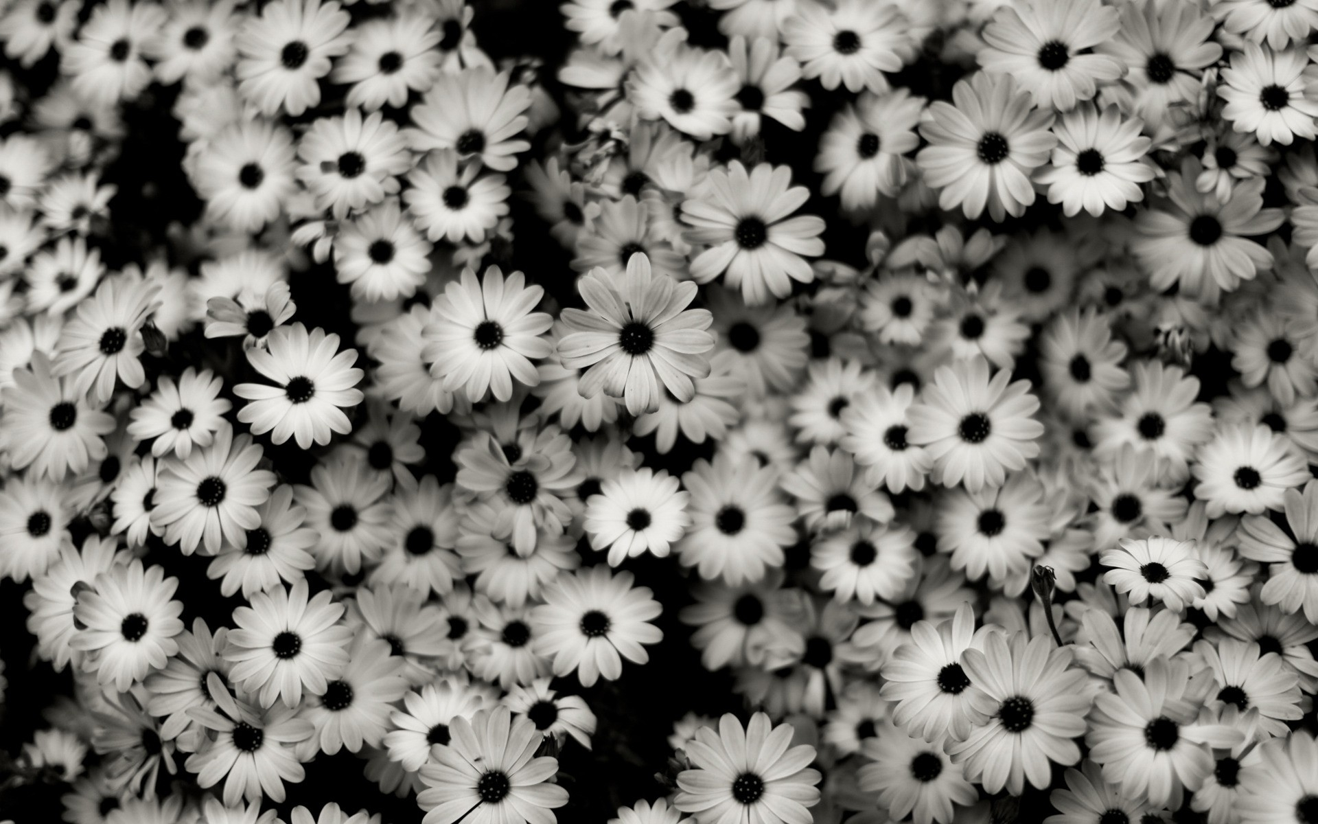 Black And White Flowers wallpaper   1360733 1920x1200