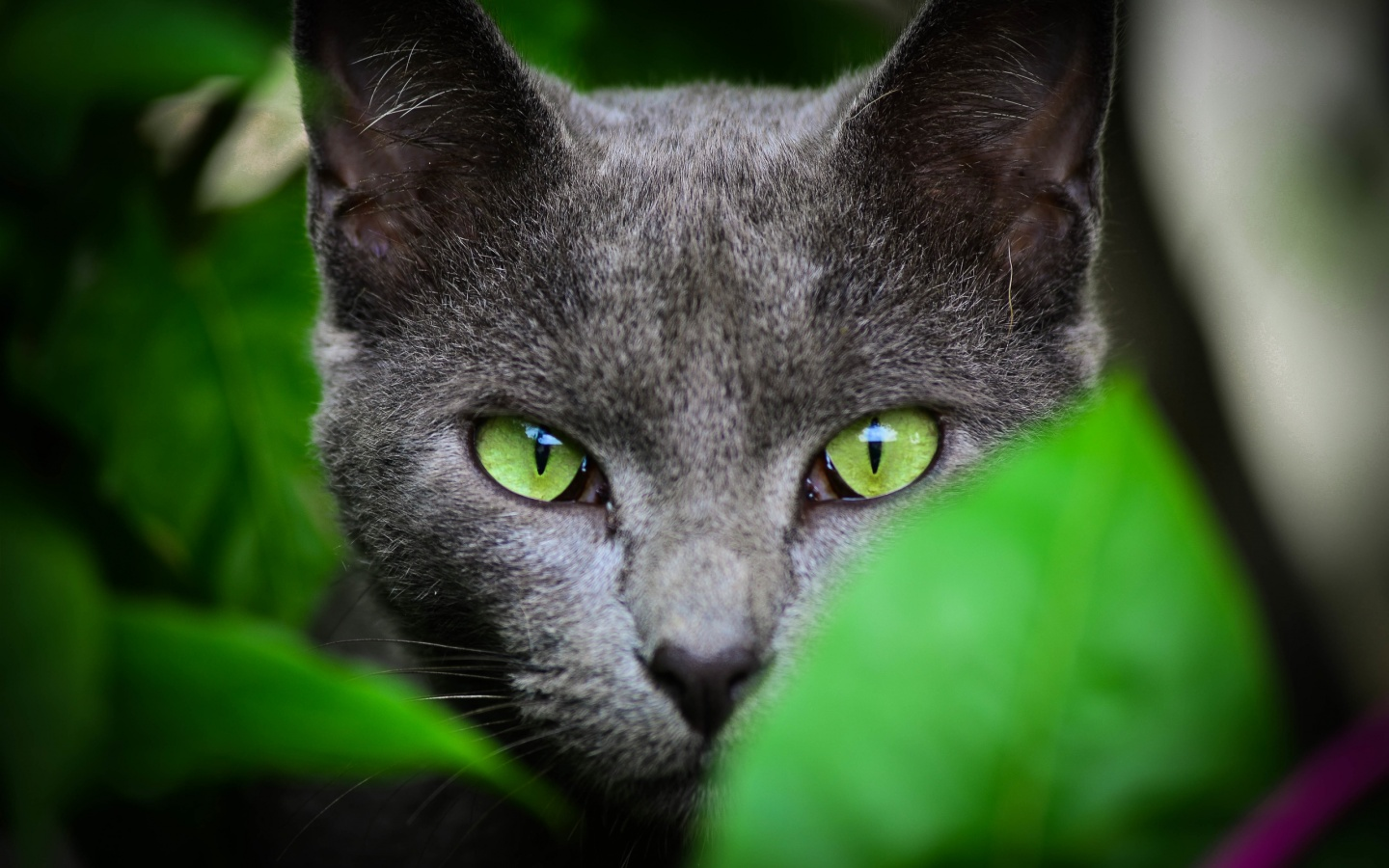Black Cat Green Eyes Color Wallpapers   1440x900   341546 1440x900