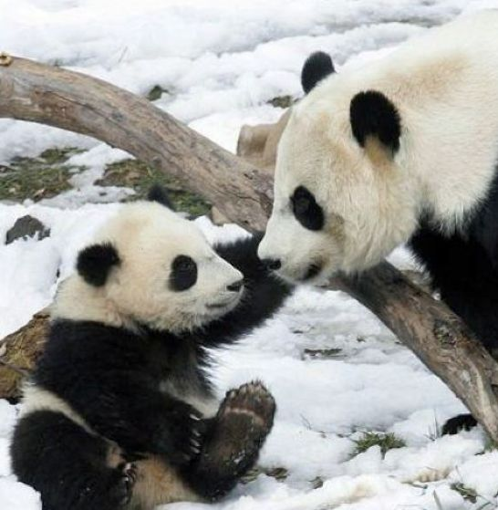 Cute baby panda bear pictures pictures 3 546x559