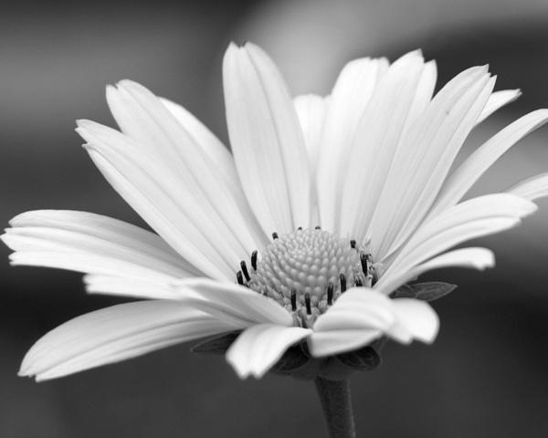 Daisy Flower Black And White Wallpaper Black and White Daisy ...