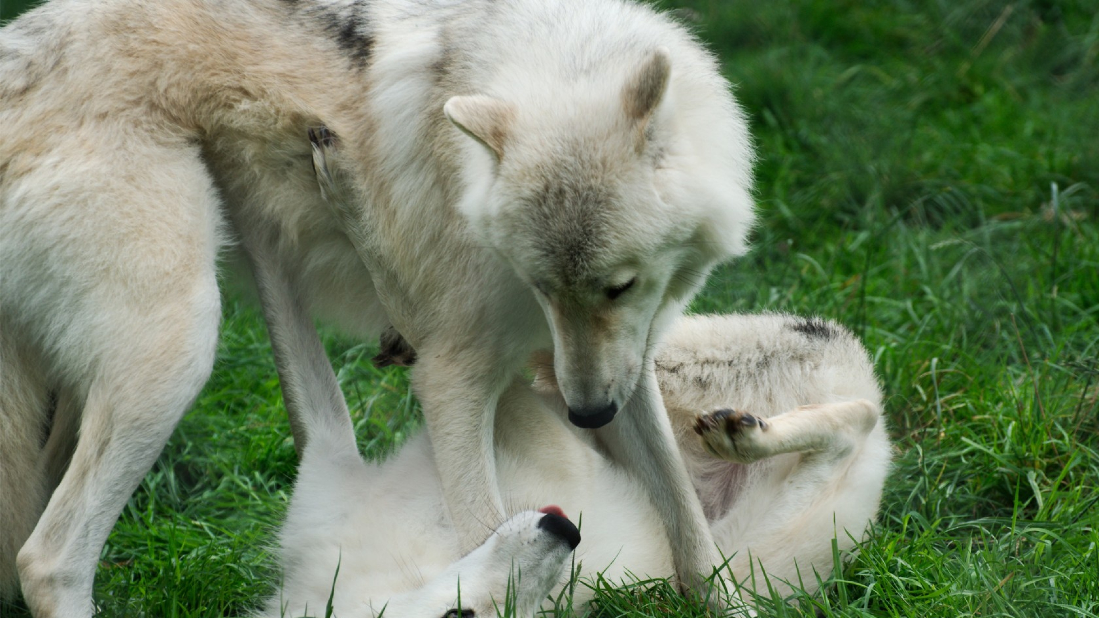Download Wallpaper 3840x2160 Wolves Grass Game Couple Two 4K Ultra 3840x2160