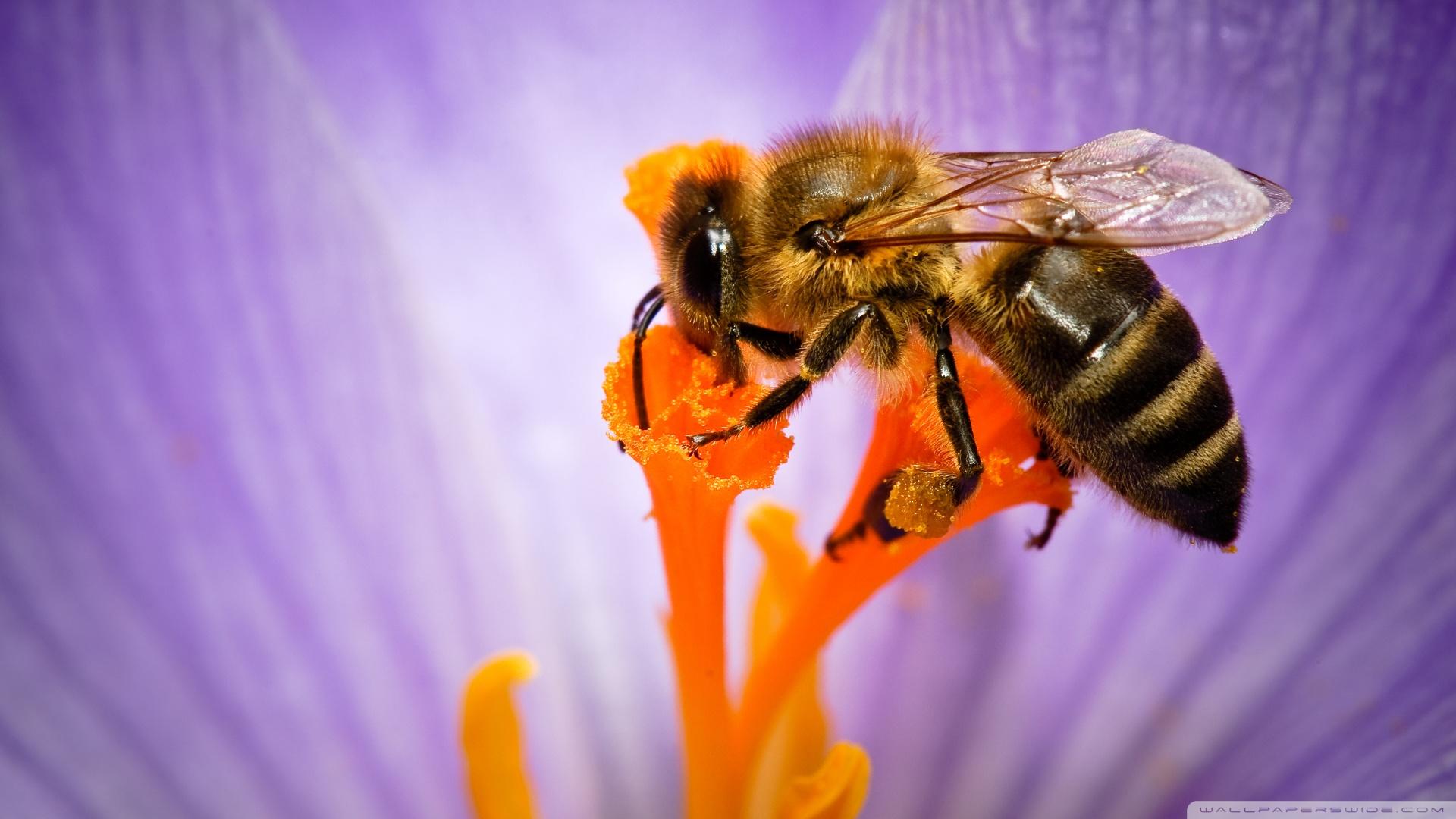 Honey Bee 2 Wallpaper 1920x1080 Honey Bee 2 1920x1080