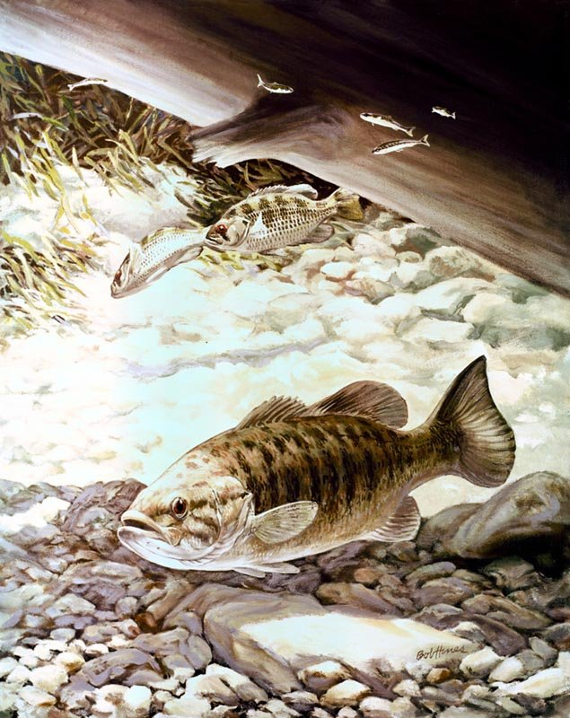 com   Small Mouth Bass Pictures Information Wallpaper Photos 635x800