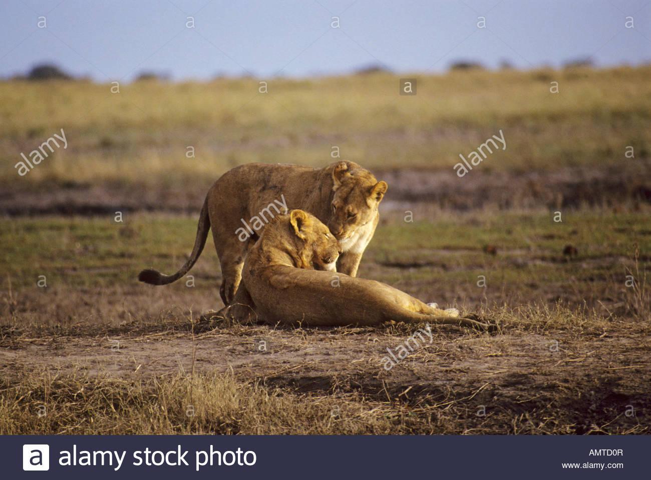 Companionship Panthera Leo Stock Photos Companionship Panthera 1300x960