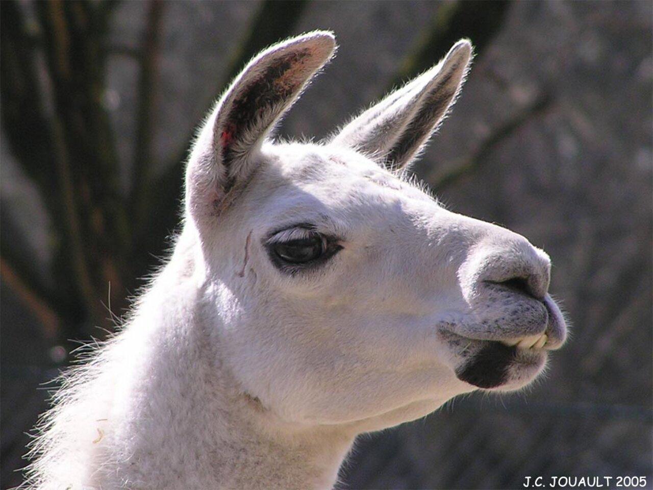 Llama wallpapers   Alpacas and Llamas Wallpaper 28337716 1280x960
