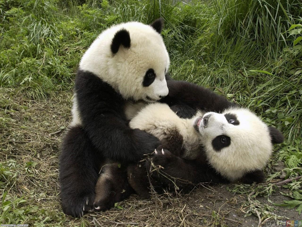 Baby panda bears wallpaper 4557   Open Walls 1280x960