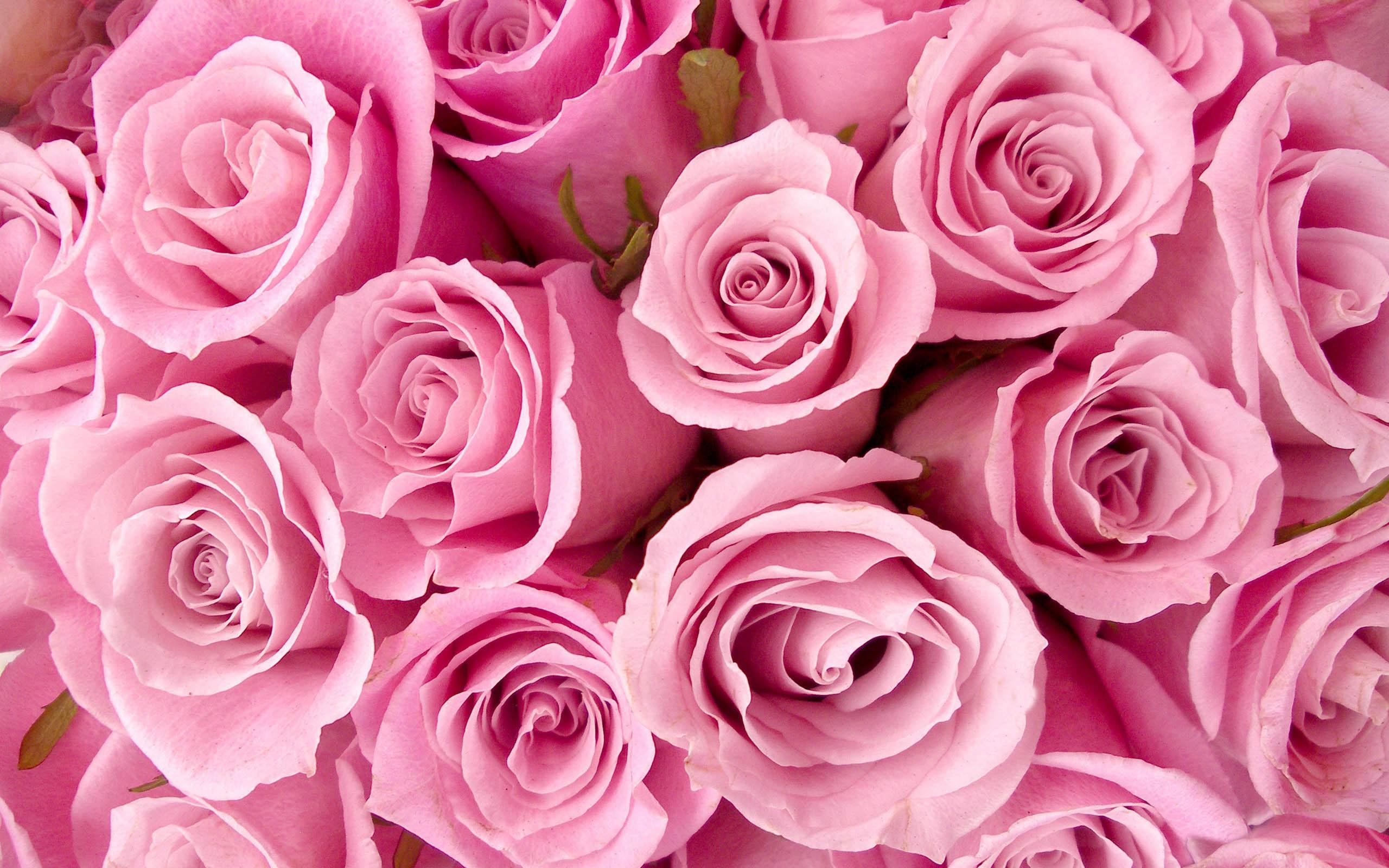 Special Pink Roses Wallpaper Desktop For Desktop 2560x1600