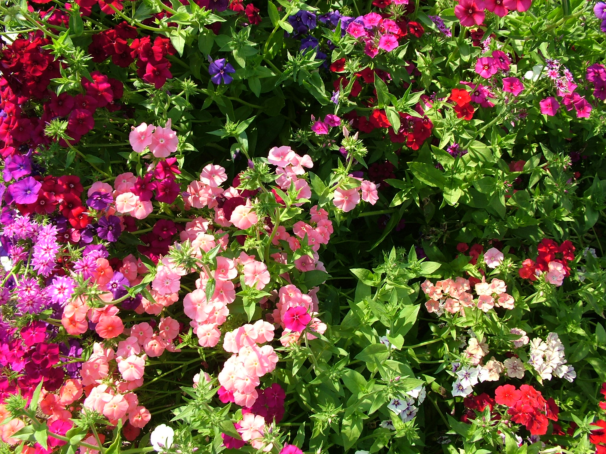 and wallpapers royalty flowers on the sunny day stock photo 2016x1512