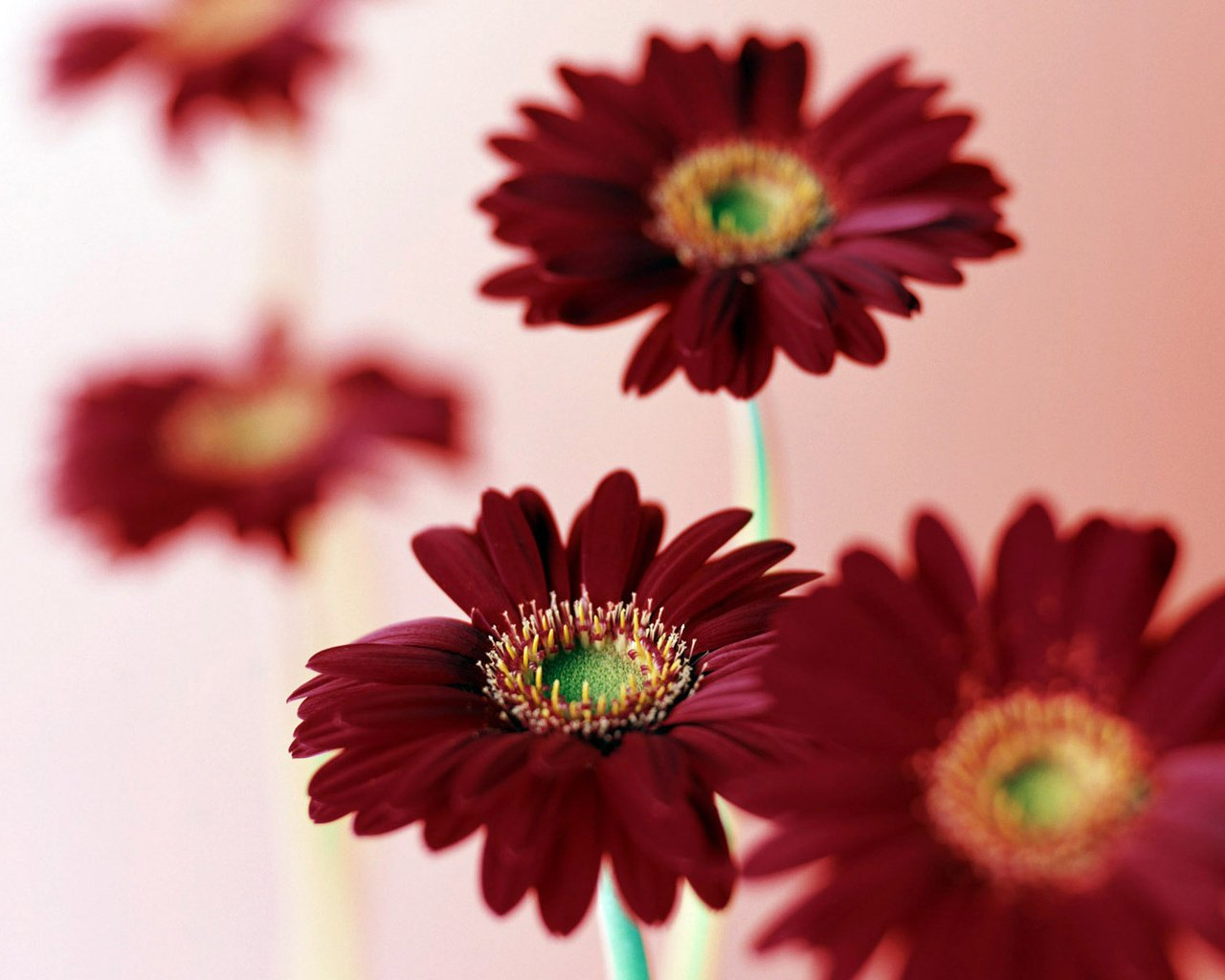 Pictures Burgundy gerbera Flowers download desktop wallpapers 1280x1024