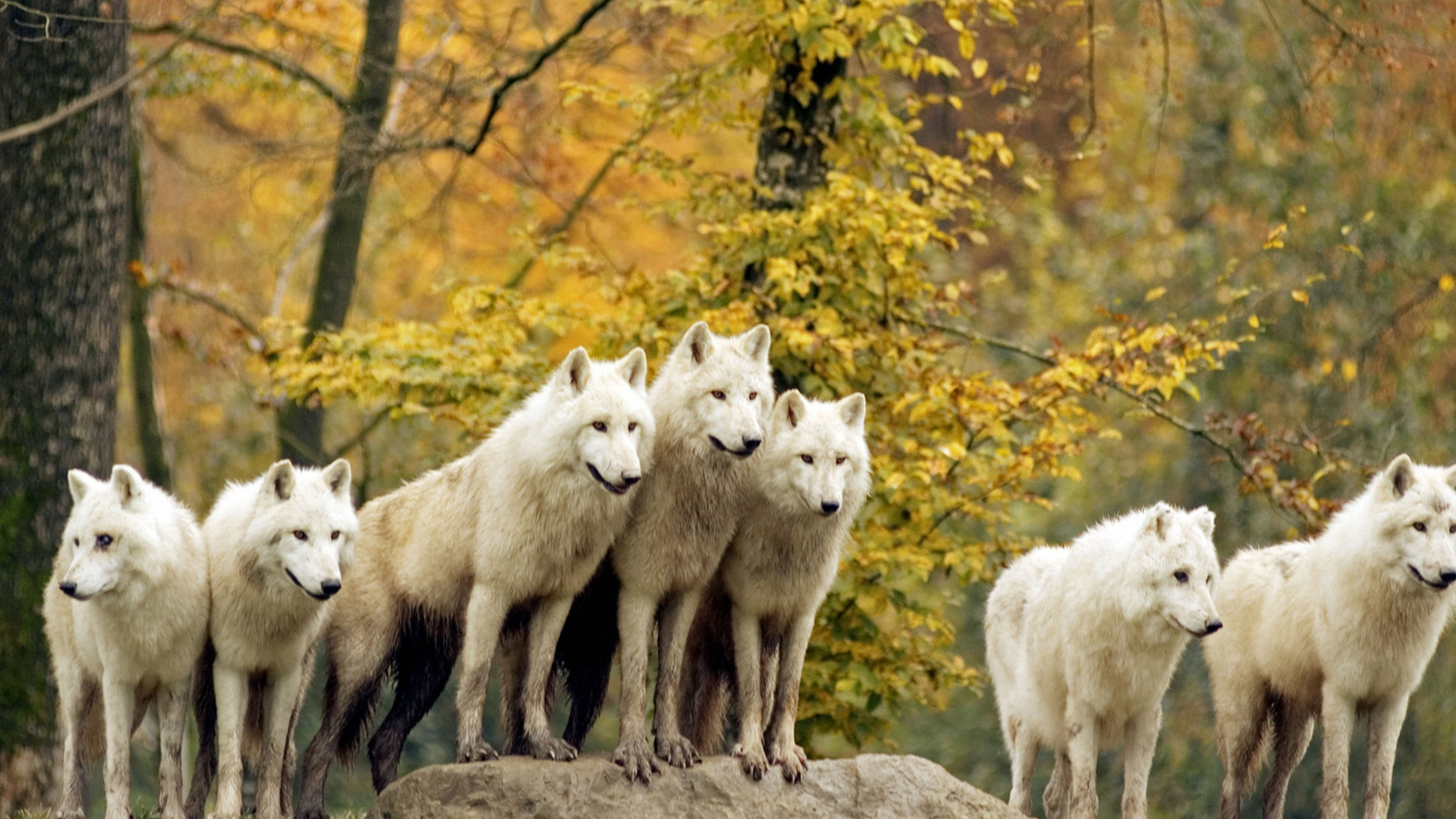Wolves Forest Flock Grass Trees Autumn Hunting Family Wallpaper 3840x2160