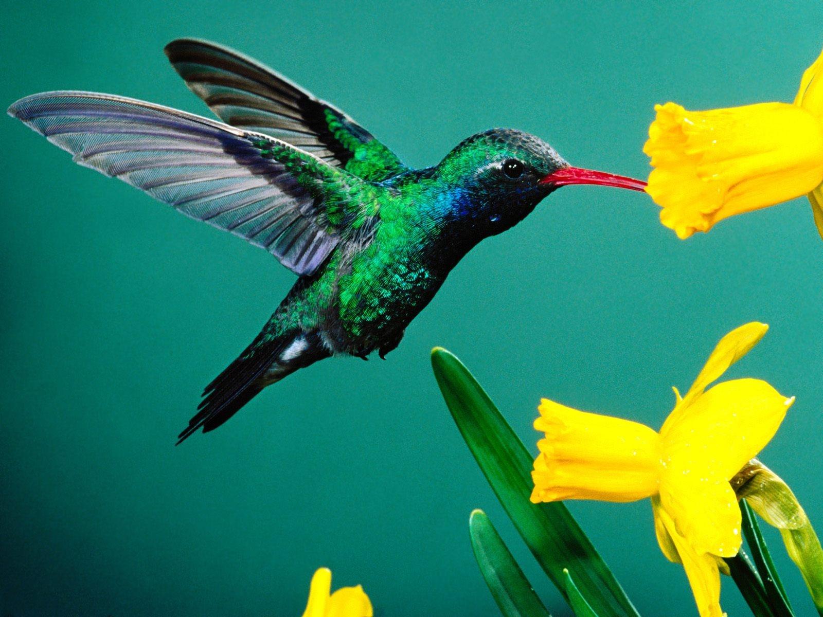 Nice Small Humming Bird near Yellow Flower Wallpaper HD Wallpapers 1600x1200