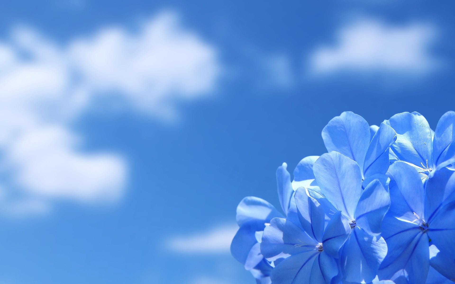 Blue sky blue flower wallpaper Download HD Wallpapers for Desktop 1920x1200