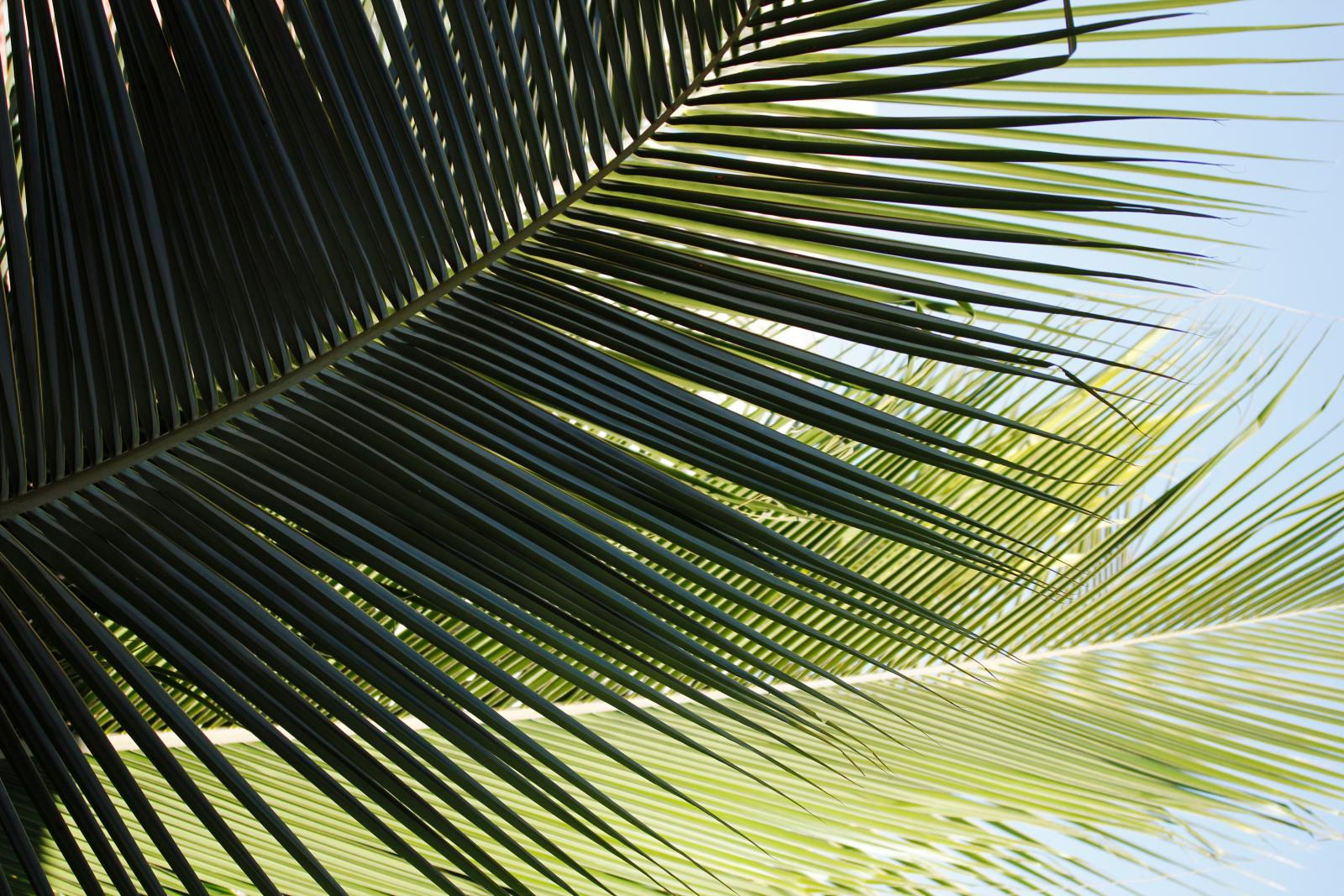 Coconut Palm Leaves Closeup   Download Links Images and Photos 1600x1067