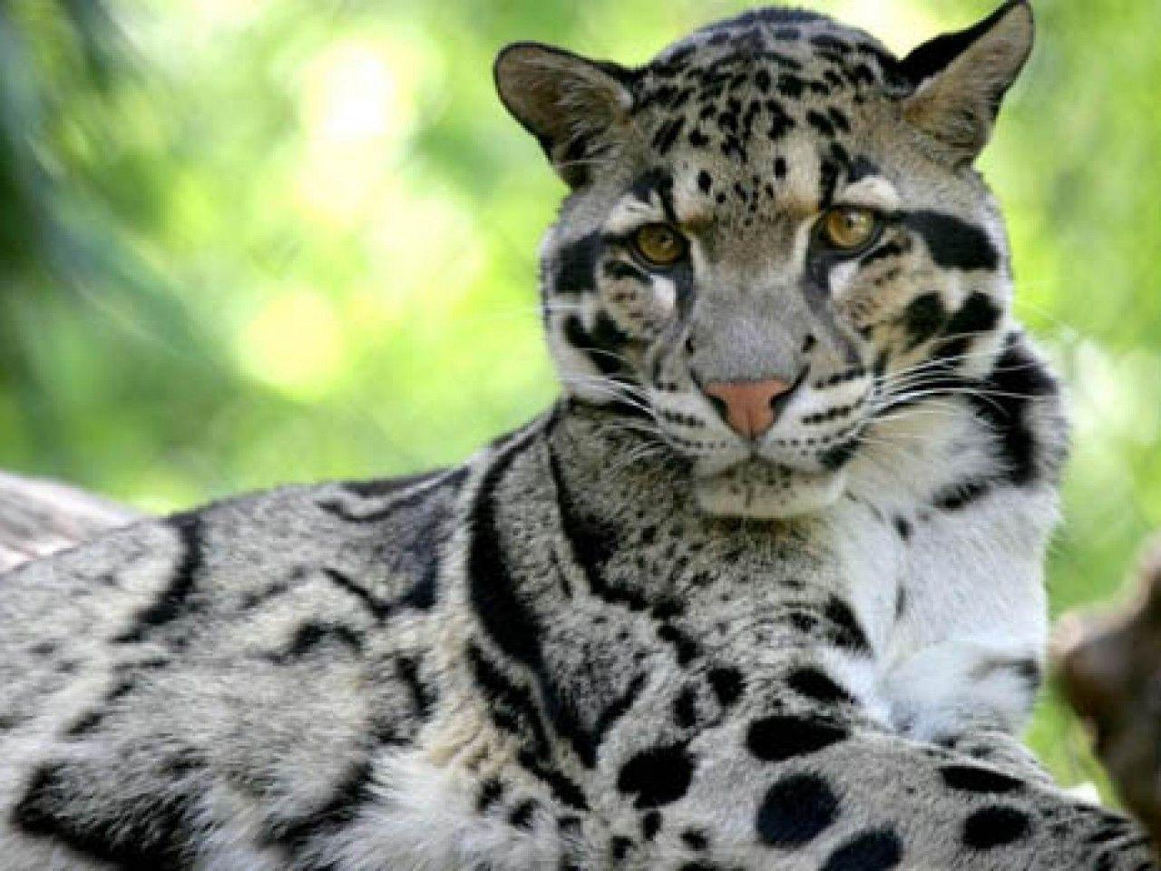 Clouded Leopard Wallpapers 1280x960