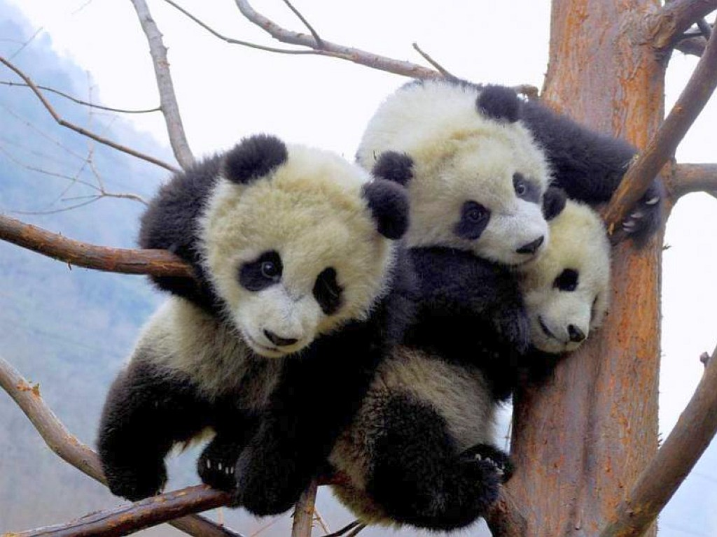 Baby Pandas wallpaper   ForWallpapercom 1024x768
