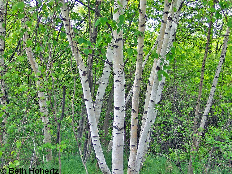 Photo Birch Wildflowers of Ontario album BethHohertz Fotkicom 750x562