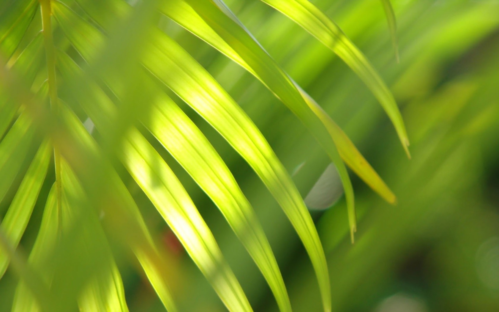 Download Palm leaf wallpaper 1680x1050