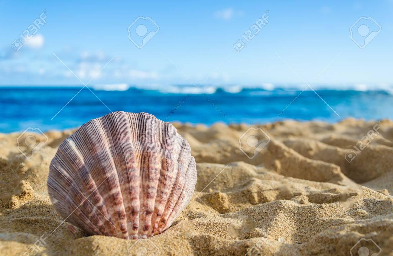 Seashell On The Sandy Beach Near Ocean In Hawaii Kauai 1300x848