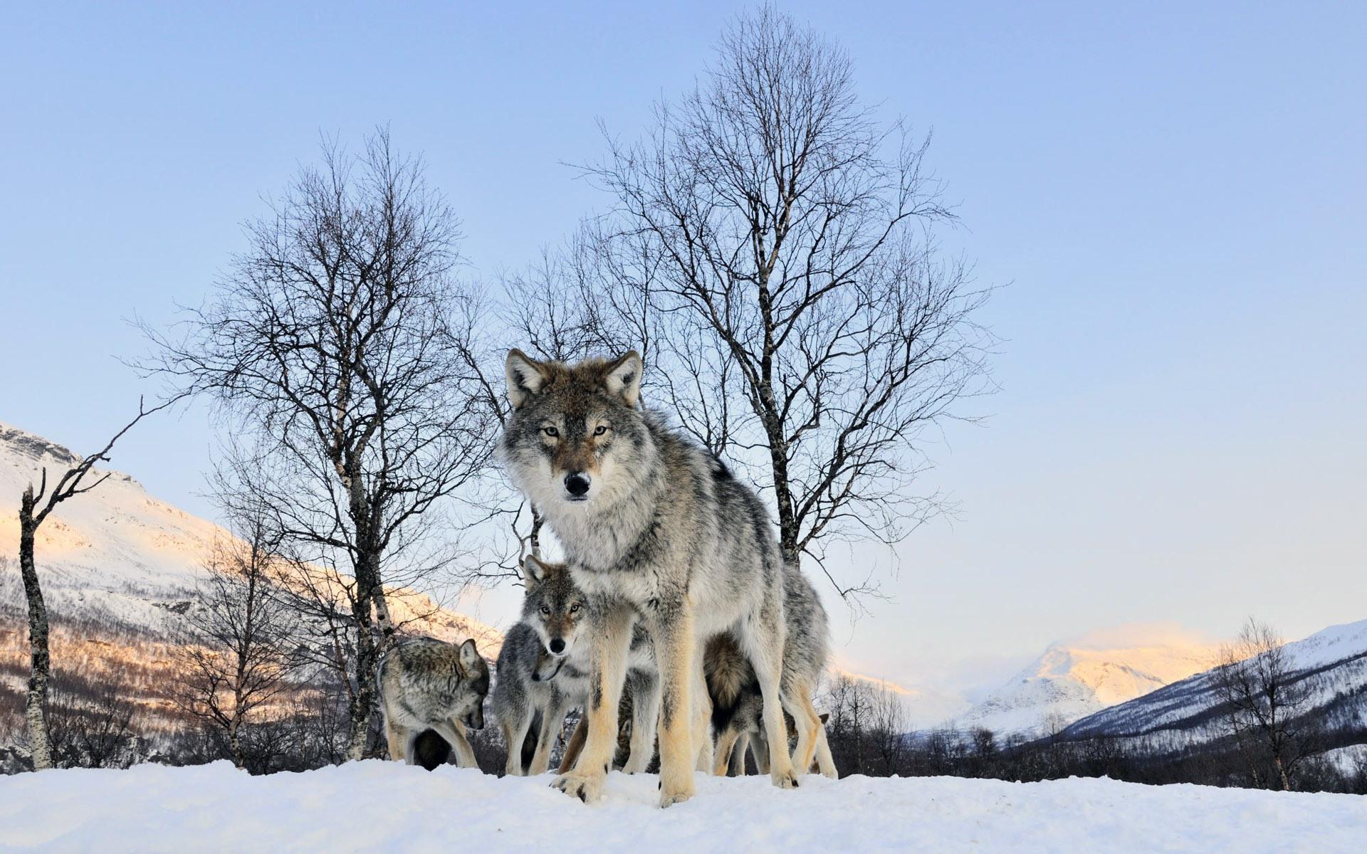 [45+] Pack of Wolves Wallpaper on WallpaperSafari - photo#23