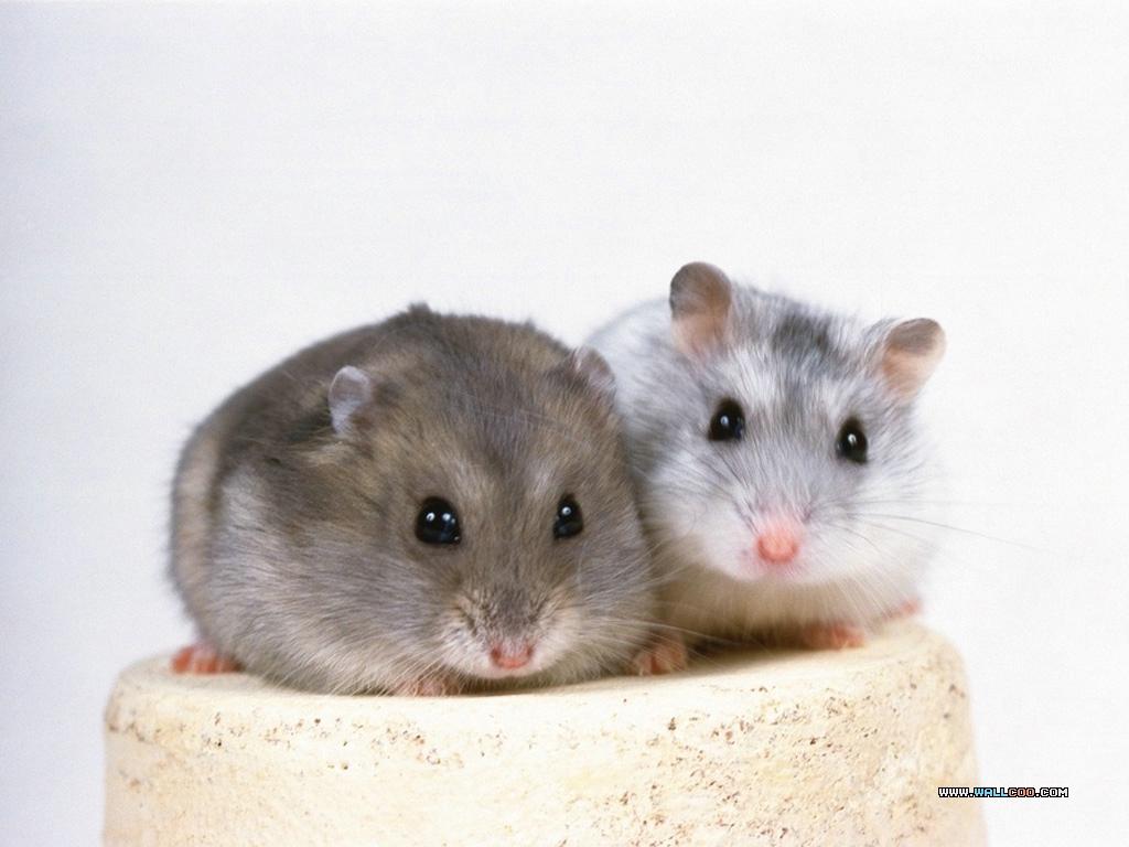 Little Creatures Little Hamster Wallpapers 1024768 NO14 Wallpaper 1024x768