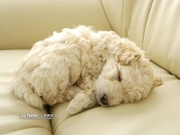 Lovable Toy Poodle Puppy Curly Coat Miniature Poodle Wallpaper 22 700x525
