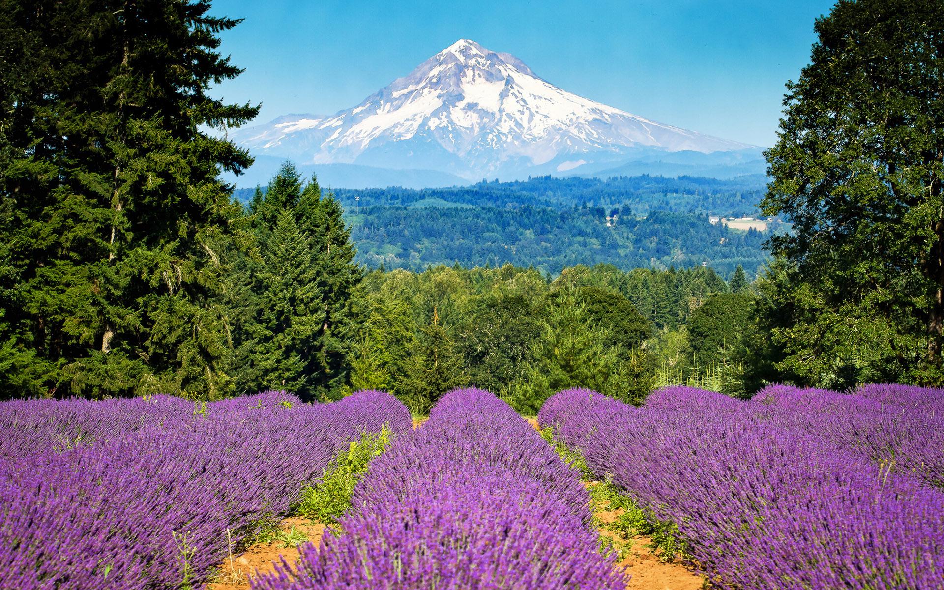 Lavender field wallpaper 28193 1920x1200