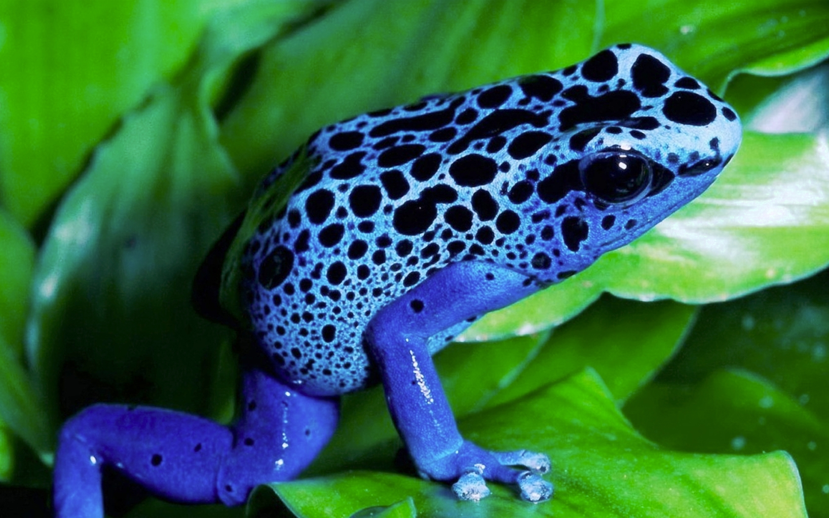 frogs amphibians poison dart frogs 1680x1050 wallpaper High 1680x1050
