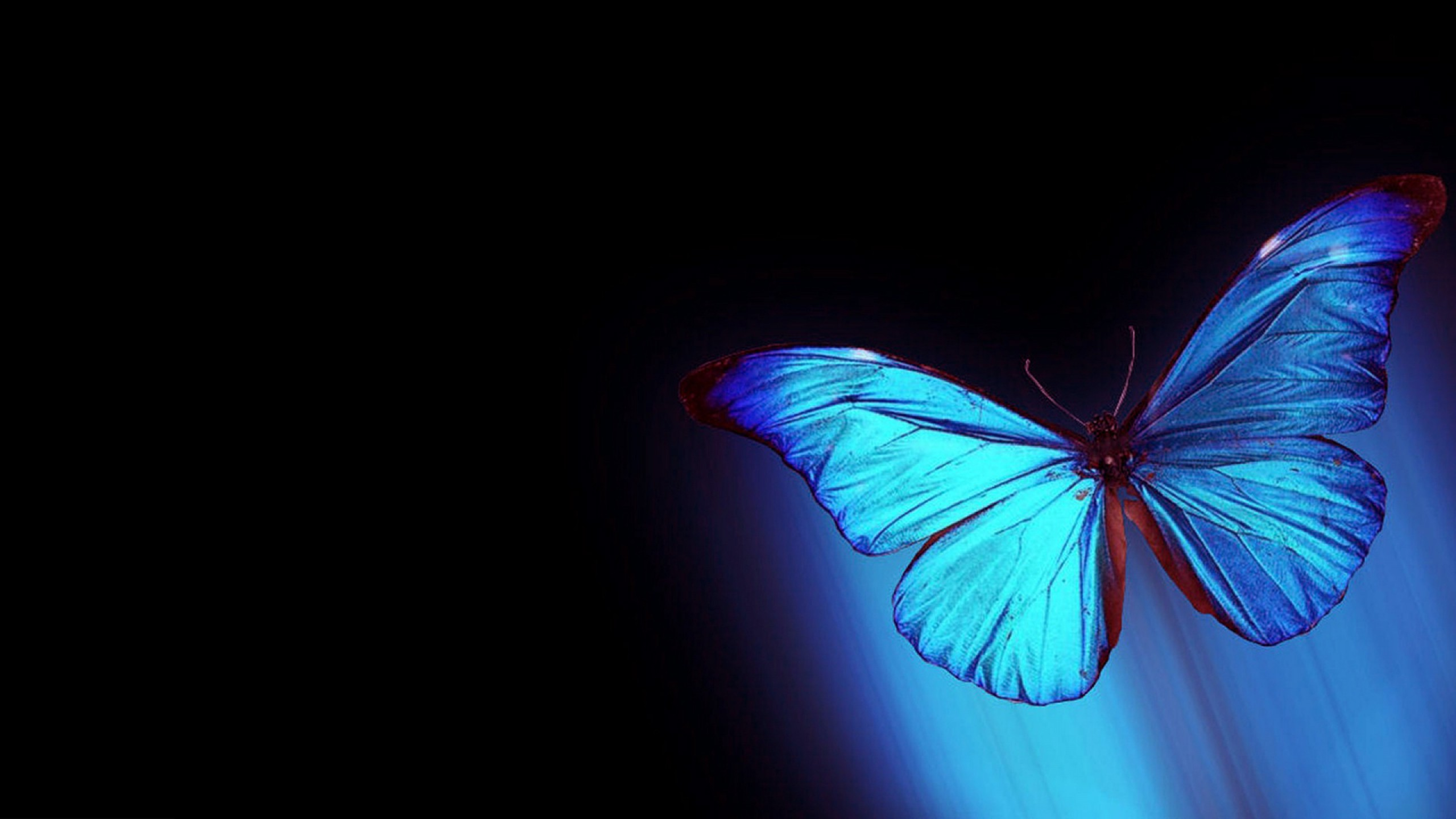 Black And Blue Butterfly Wallpaper HD Background 2560x1440