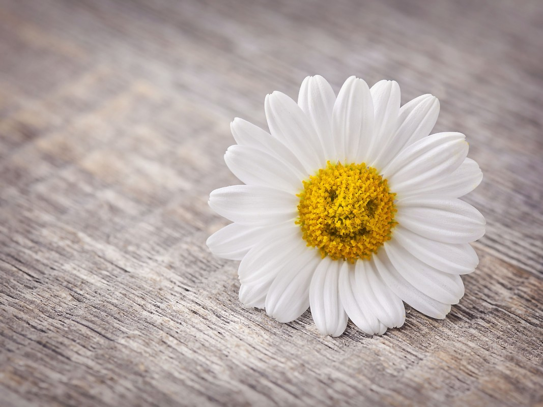 Smiling Daisy HD Wallpapers to your mobile phone or tablet 1067x800
