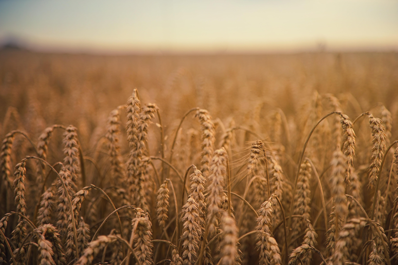 Rye field Ears of corn Field Ripe HD wallpaper Wallpaper Flare 6000x4000