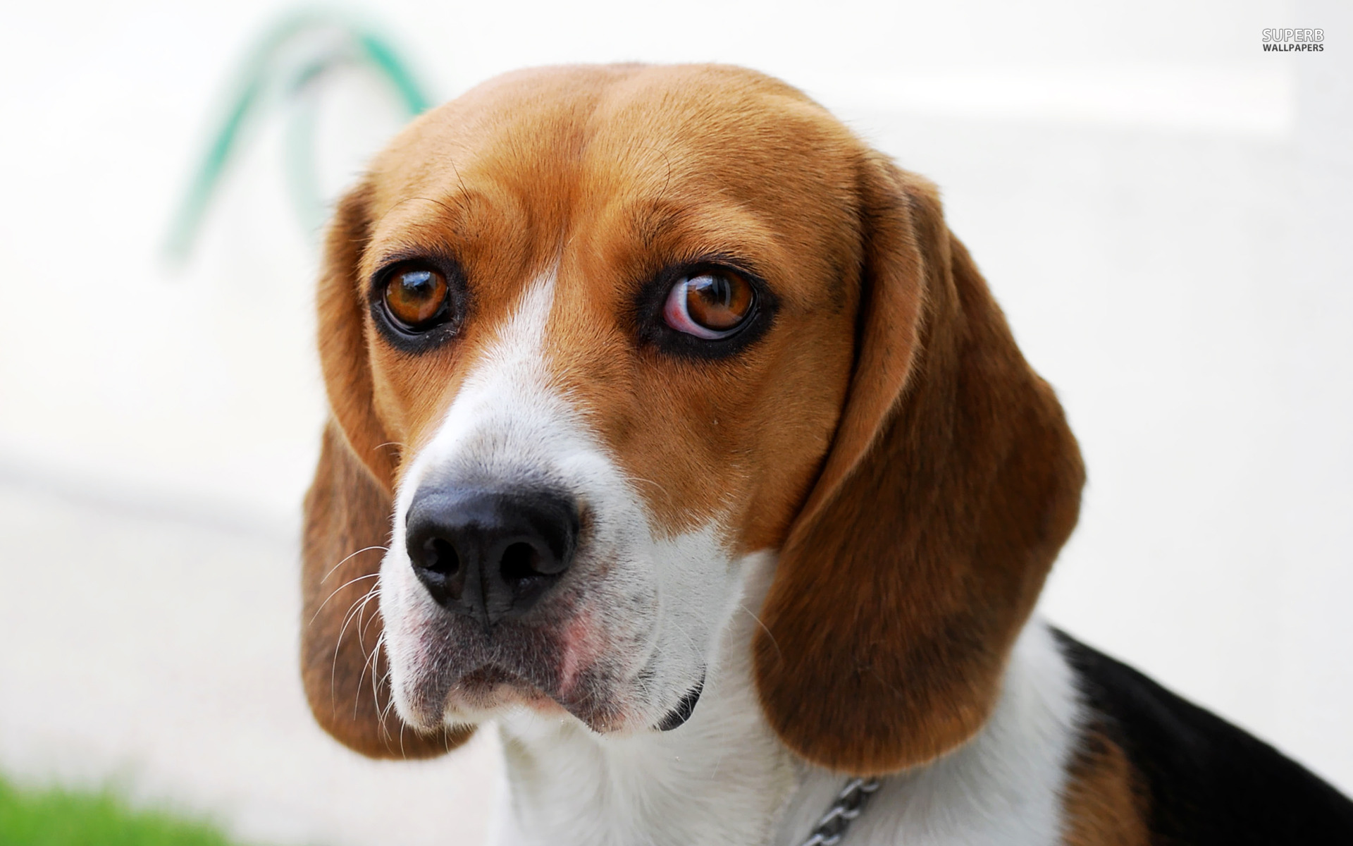 Dog beagle guilty wallpapers and images   wallpapers pictures photos 1920x1200