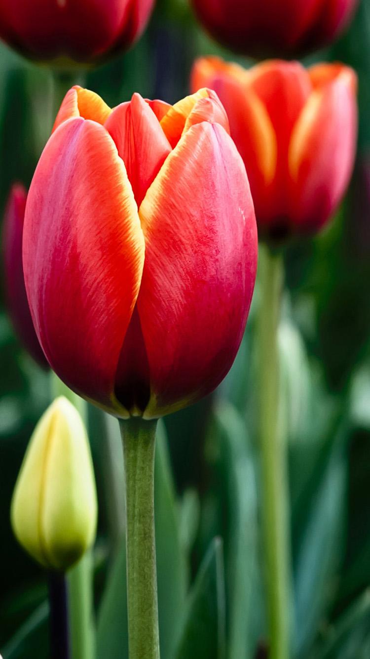 Tulips in bloom iPhone 6 Wallpapers HD iPhone 6 Wallpaper 750x1334