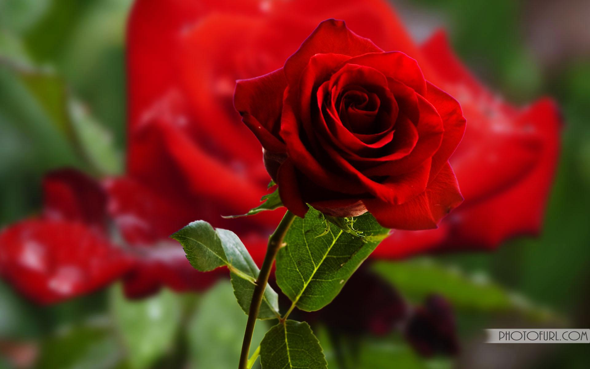 50+ Most Beautiful Rose Flowers Wallpapers on WallpaperSafari