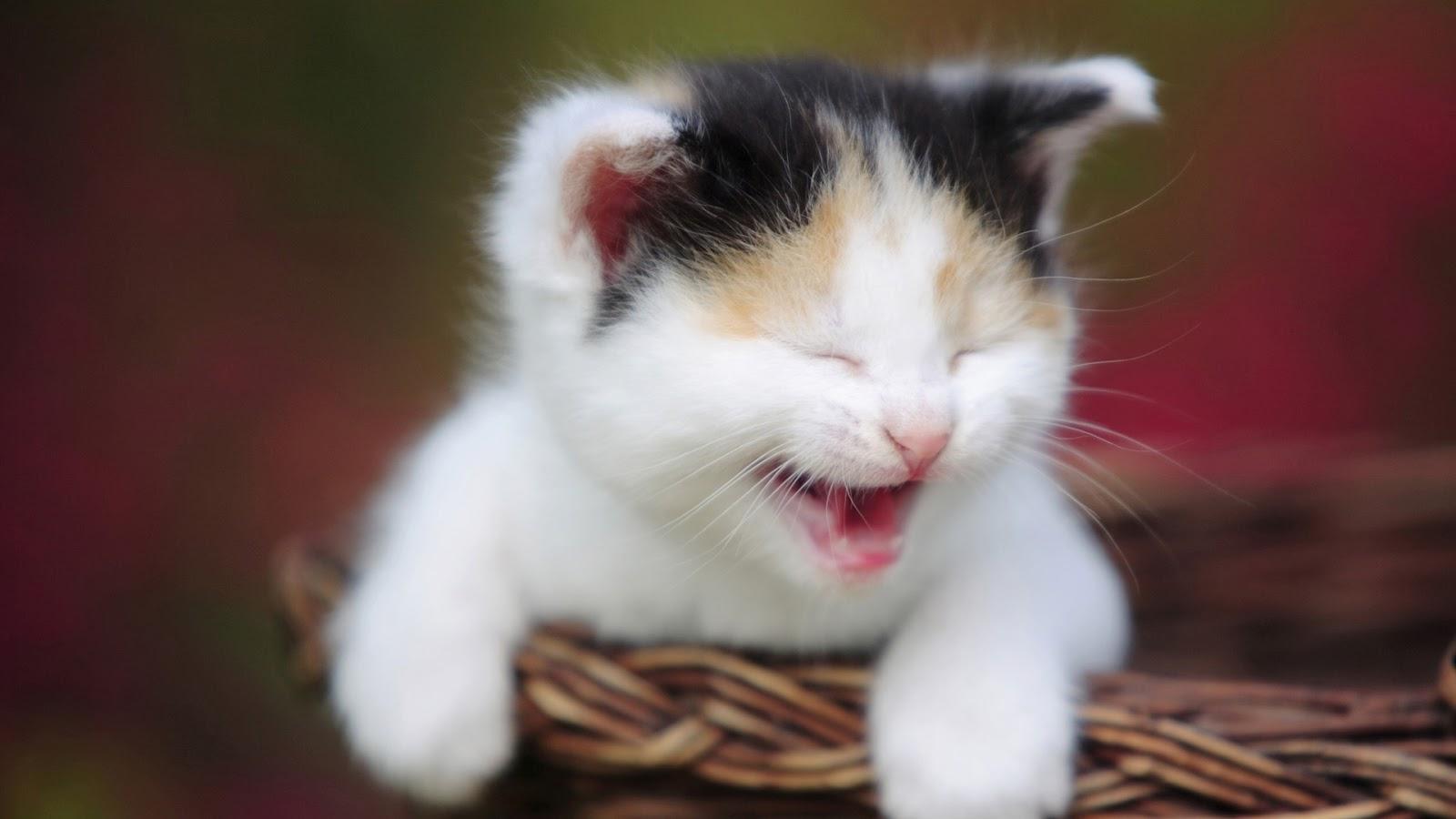 Free Download Baby Cat Wallpaper 1 Baby Cat Wallpaper 2 Baby Cat Wallpaper 3 Baby 1600x900 For Your Desktop Mobile Tablet Explore 76 Baby Kitten Wallpaper Cute Kittens Wallpapers