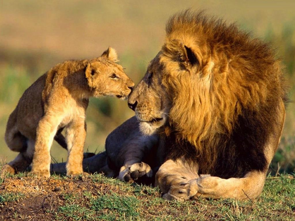 Tags Lions Lions Wallpapers 1024x768