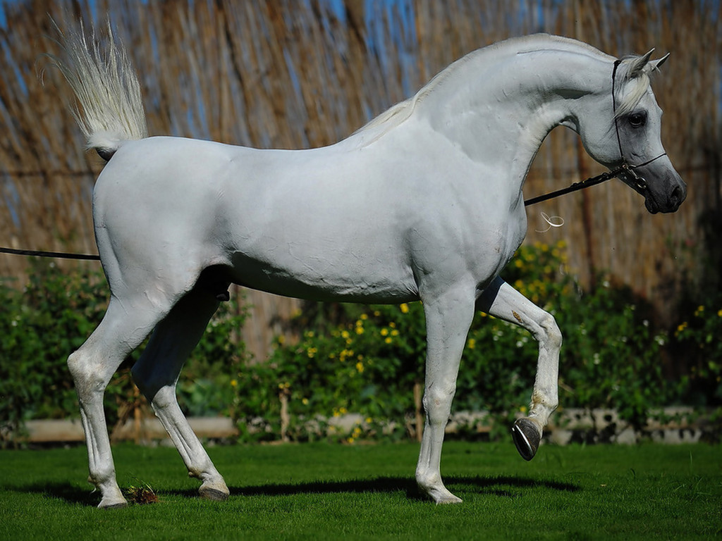 Free download Beautiful arabian Horse