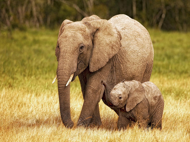 39+ Baby Elephant Desktop Wallpaper on WallpaperSafari