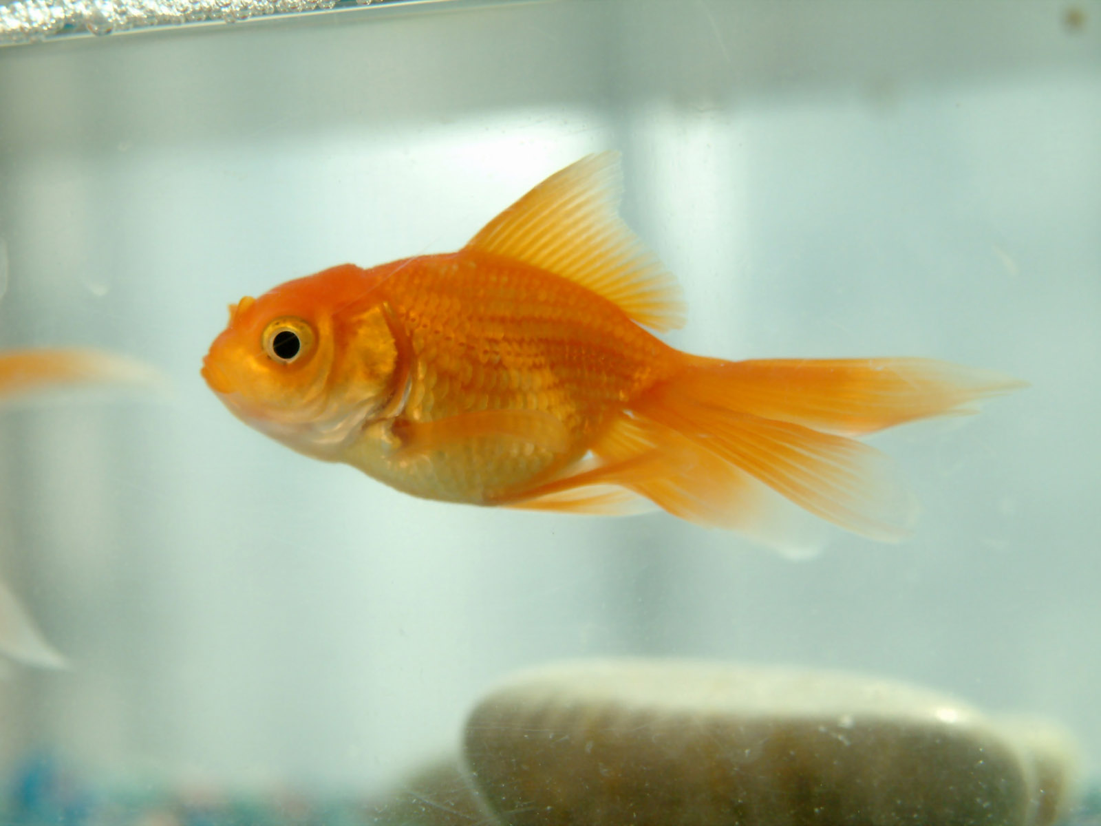 goldfish high quality wallpapers he gold fish wallpapers nice goldfish 1600x1200