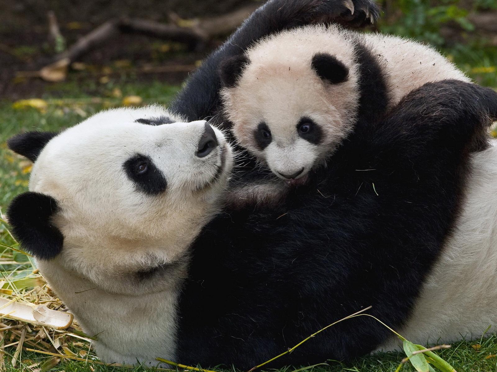 panda and baby panda uploaded silvery 2012 01 17 downloads 1600x1200