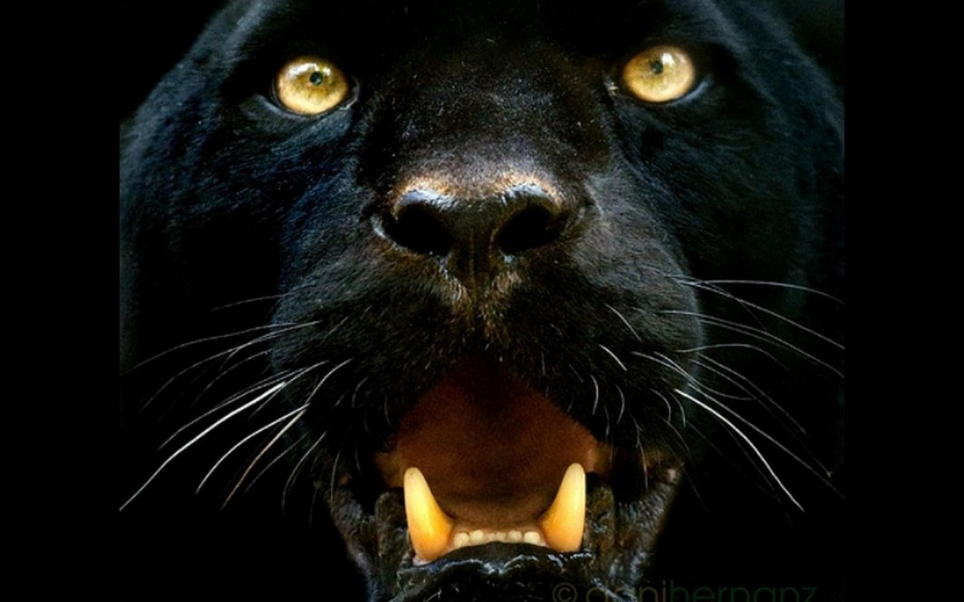 Tiere   Schwarzer Panther Wallpaper 1920x1200