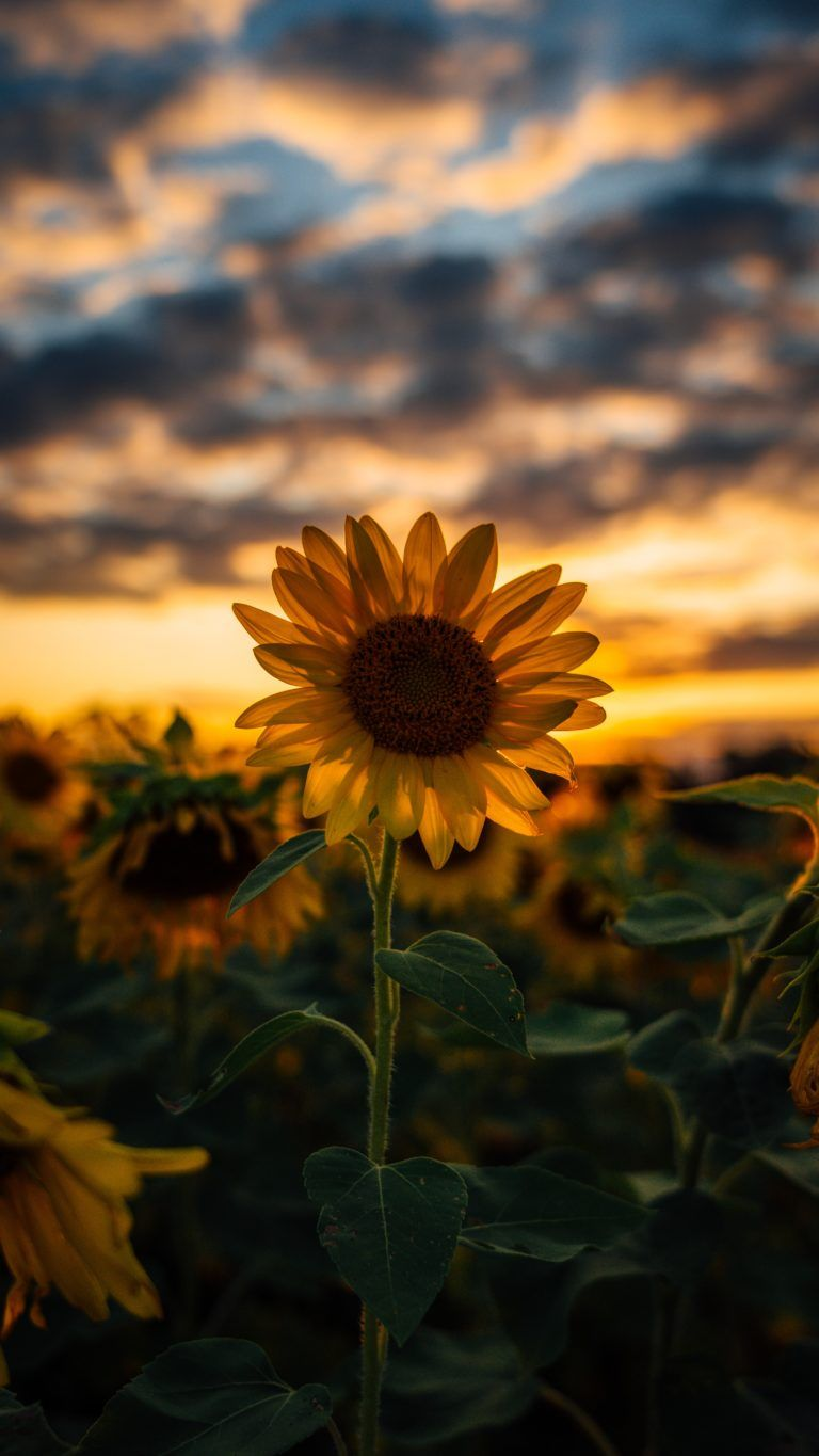 48 Clouds Sunflower Aesthetic Wallpapers On Wallpapersafari