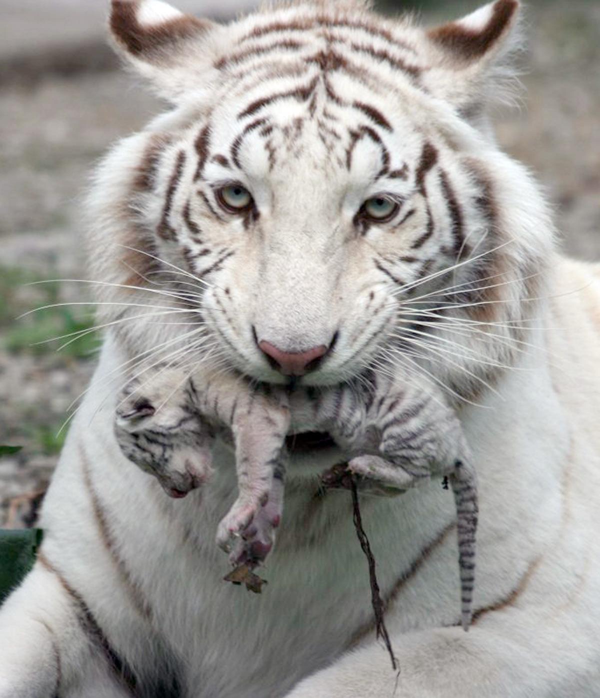 Baby White Tiger Wallpaper - WallpaperSafari - photo#6