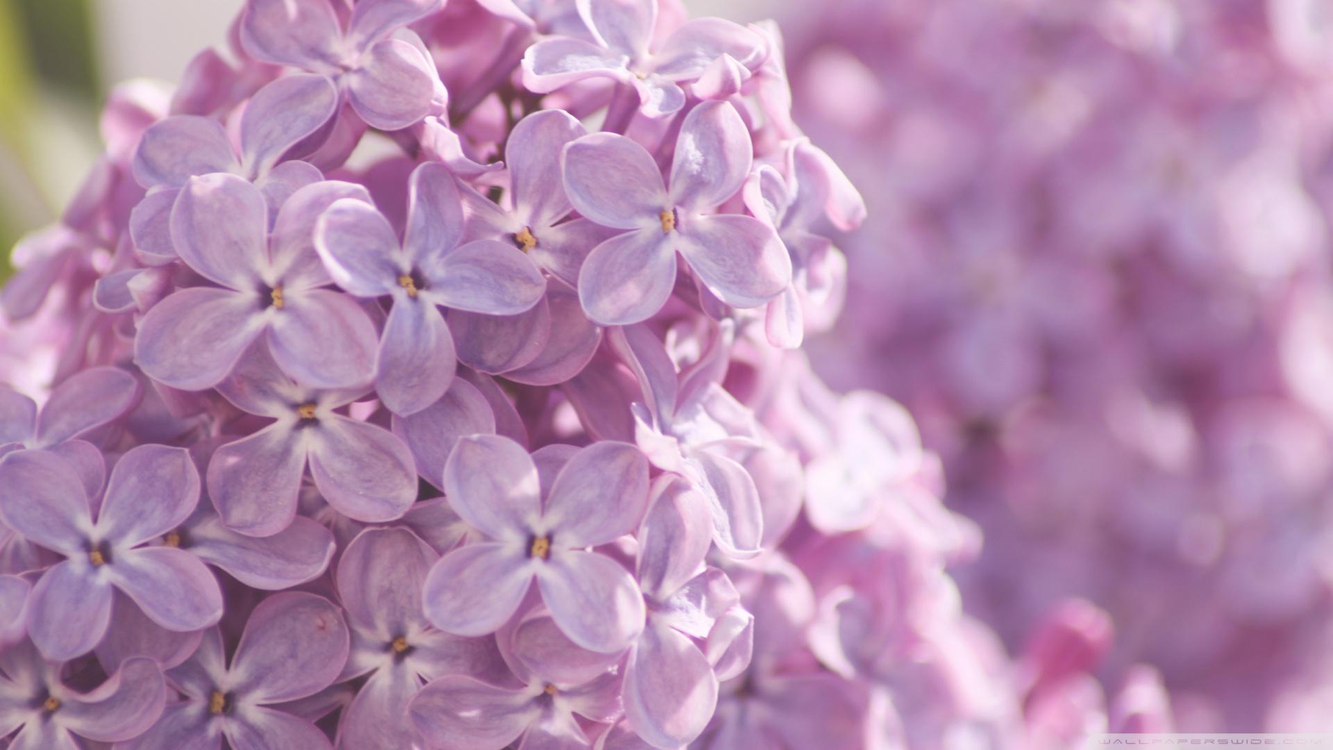 цветы природа сирень  № 2224232 без смс
