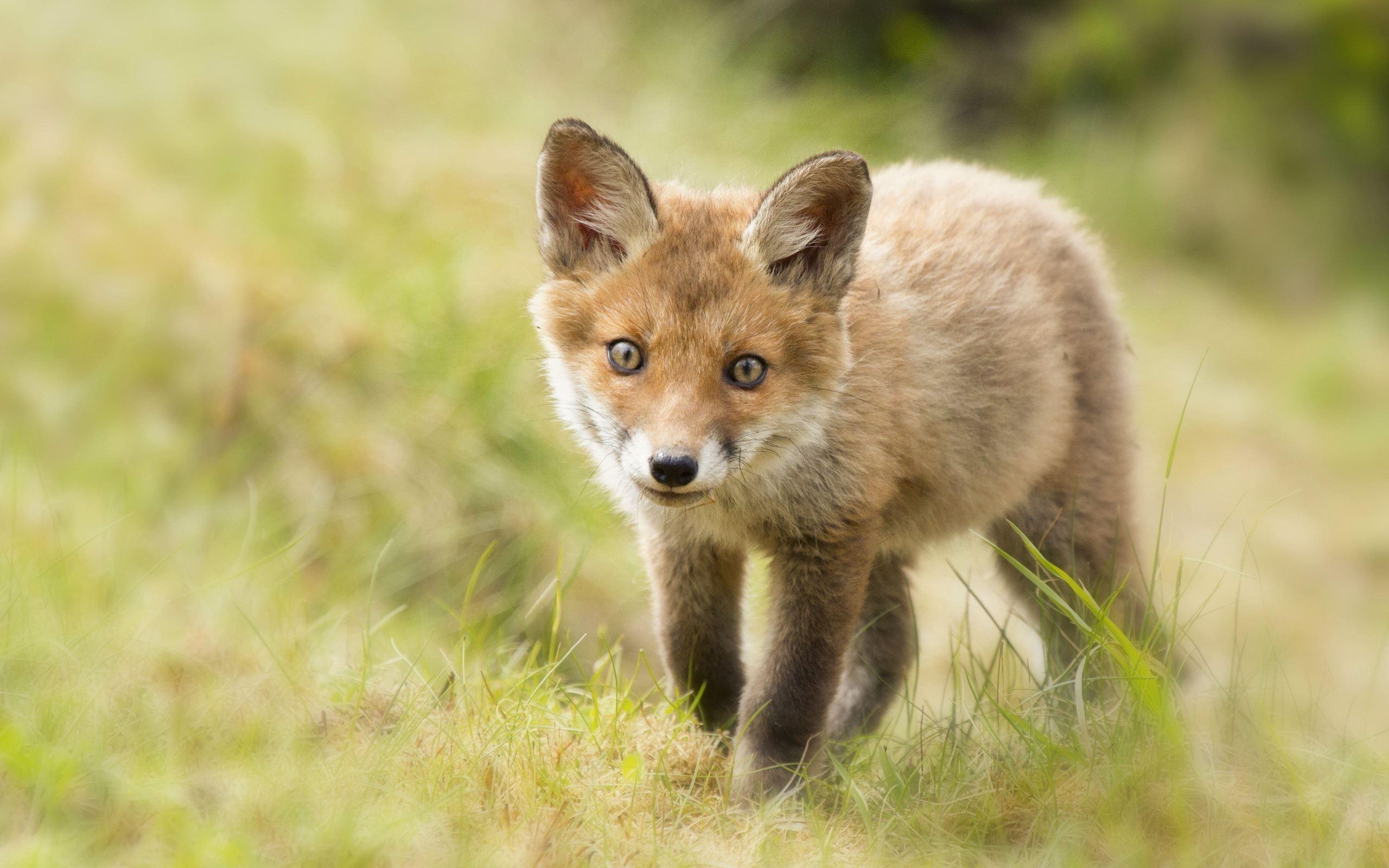 cute baby fox wallpaper wallpapersafari